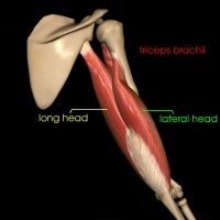 Triceps brachii - long head and lateral head