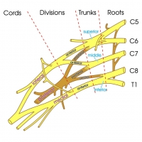 Brachial Plexus - basic labels