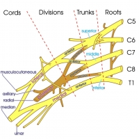 Brachial Plexus - major branches