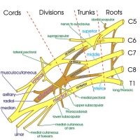 Brachial Plexus - minor branches
