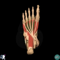 foot muscles - second layer - lumbricals