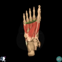 foot muscles  - third layer - adductor hallucis transverse head