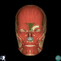 Face  - muscles - nasal - procerus