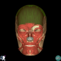 Face  - muscles -occipitofrontalis
