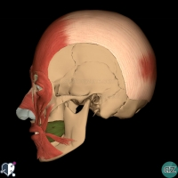 Face  - muscles - oral - buccinator lateral