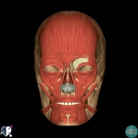 Face  - muscles - oral - buccinator