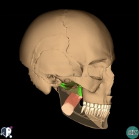 Muscles of mastication - lateral pterygoid