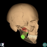 Muscles of mastication - medial pterygoid