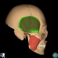 Muscles of mastication - temporalis