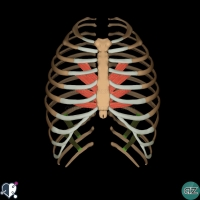 Thorax - thoracic wall - subcostal muscles anterior view
