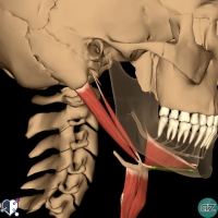 Neck - Suprahyoid - digastric anterior belly