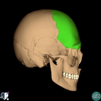 Skull - lateral - frontal