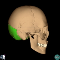 Skull - lateral - occipital