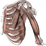 intercostal muscles