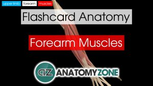 Forearm Muscles Anatomy