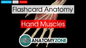 Hand Muscles Anatomy