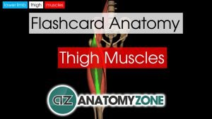 Thigh Muscles Flashcard