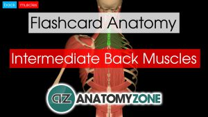 back muscles - intermediate - flashcard